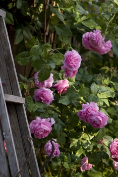 Fredholm roser Cottage Garden