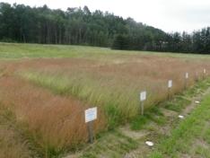 Stedegent frø - Sauesvingel for ulike landsdeler (2)