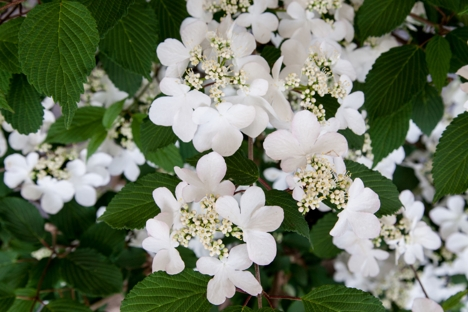 Viburnum plicatum f tomentosum KILIMANJARO SUNRISE ('Jww5')-2