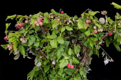 Raspberry RUBY BEAUTY ('Nr7')