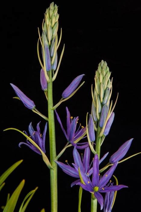 Camassia leichtlinii subsp suksdorfii (Caerulea Group) 'Maybelle'-2