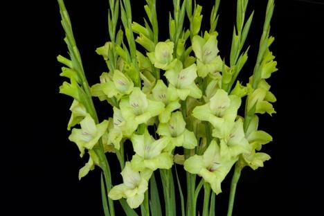 Gladiolus 'Prima Verde'-3