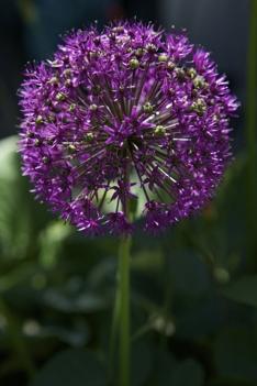 Allium giganteum_løkblomst