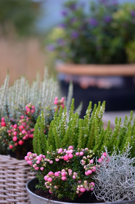 Høst i hagen_Foto Plantmania (11)