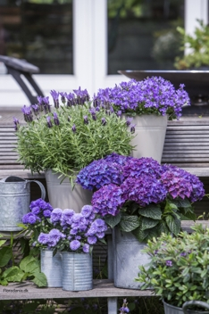 Hortensia Hydranges-Campanula-Lavandula-_Aster