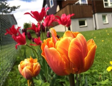 Tulipaner vårblomstring Rbvn