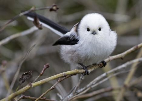 Stjertmeisa er en vakker fugl, med rundt snøhvitt hode og en særdeles lang stjert. I høst og vinter har det vært stort innvandring av arten fra østlige strøk.