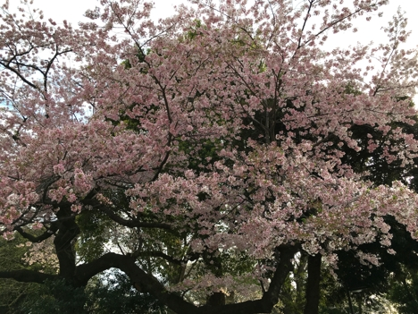 Sakura Tokyo_Foto Geir Larsen (9)