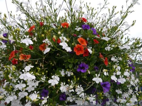 17. mai-ampel med lobelia og petunia