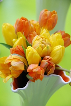 Gule påsketulipaner_Plantmania (14)